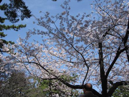 夙川の桜と知らないおっさん